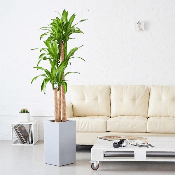 Trang trí phòng khách bằng cây thiết mộc lan