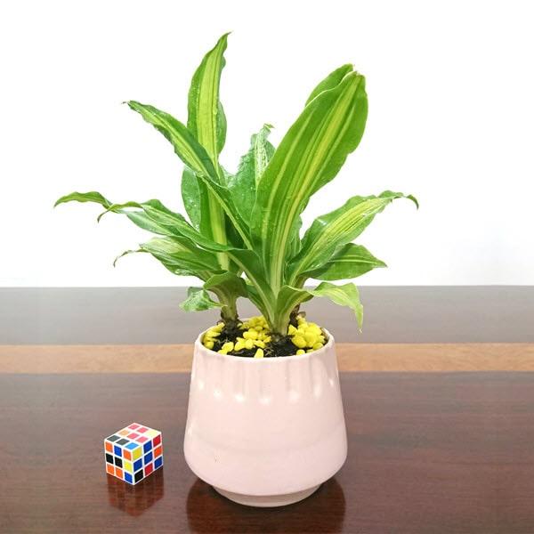 Cây thiết mộc lan có thể trồng trên bàn làm việc tại văn phòng
