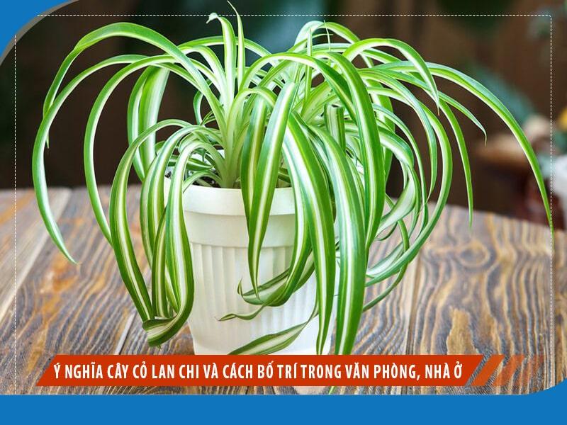 Ý nghĩa cây cỏ lan chi và cách bố trí trong văn phòng, nhà ở