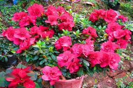Hoa Đỗ Quyên – Loài hoa độc nhưng đẹp và dùng làm thuốc chữa bệnh
